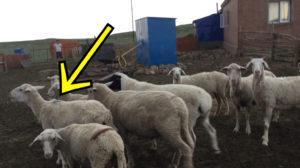 紛れ込んできた羊