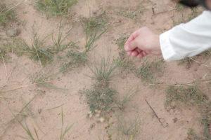 草原のニラ
